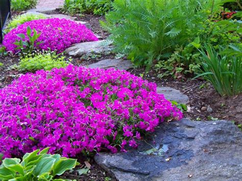creeping phlox pink garden phox landscape plants pinterest gardens hot pink and creeping phlox