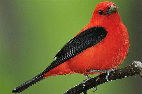Passerine Definition   What Are Perching Birds