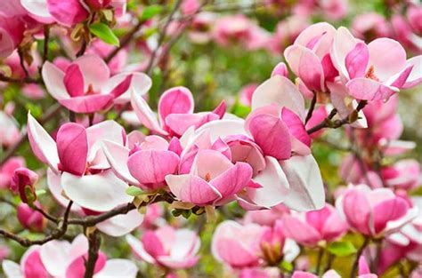 Top 6 Pink And White Springblooming Trees  Birds And Blooms