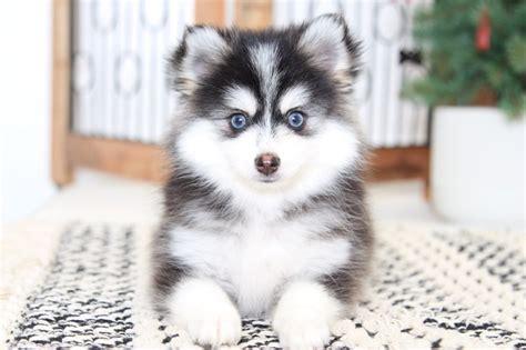 nakita  beautiful  tiny female pomsky puppy
