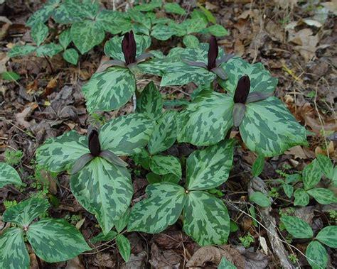 trillium plant trillium cuneatum page