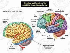 11 Best Brain  U0026 Neuro Stuff Images On Pinterest