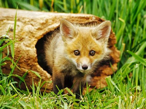 Animals, Fox, Nature, Baby Animals Wallpapers Hd Desktop