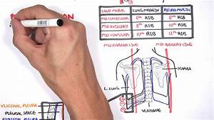 Lung Pleura - Clinical Anatomy And Physiology