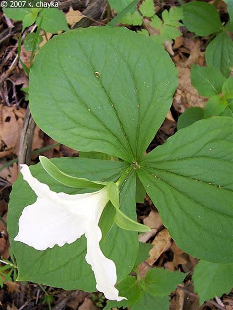 trillium leaves trillium grandiflorum large flowered trillium minnesota wildflowers