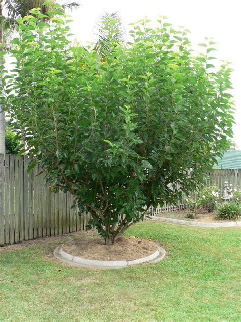 dwarf mulberry tree black morus nigra