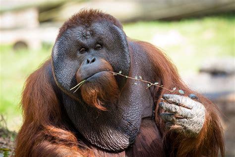 saving orangutans  bridge   time  houston zoo