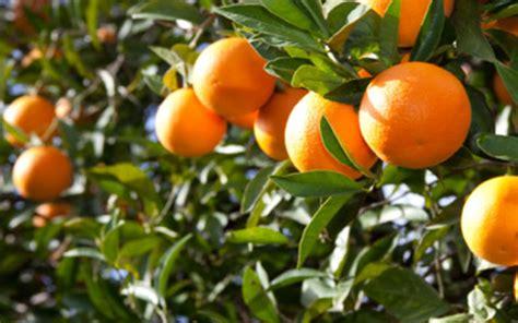 fruit salad tree california citrus tangelo trees for sale