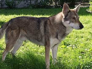 Tamaskan vs. Saarloos wolfdog and Czechoslovakian wolfdog ...