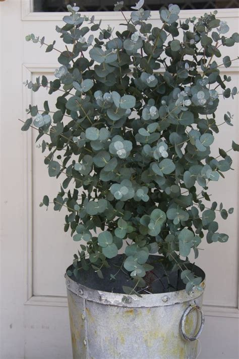 eucalyptus fragrant and mine been extremely fast growing planted it a year ago it was 3