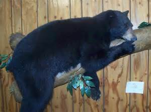 Black Bear Mount Taxidermy