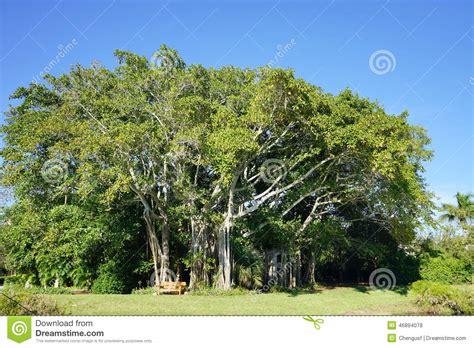 large ficus tree a big ficus tree in the ringling museum sarasota fl 3651