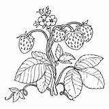 Strawberry Plant Coloring Pages Strawberries Drawing Printable Getcolorings Fruit Getcoloringpages Getdrawings sketch template