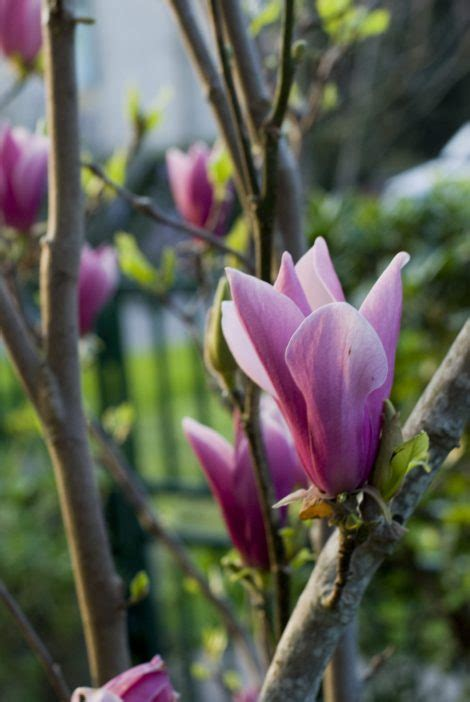 where to plant magnolia tree how to grow magnolia trees gardening channel