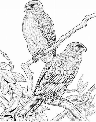 Coloring Bird Pages Falcon Tree Birds Animal