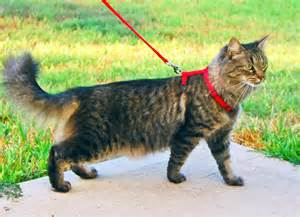 walking a cat how to walk a cat on leash personal experience ozzi cat
