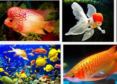 Ikan Cupang Hias Tercantik jenis ikan hias air tawar paling cantik serta harganya