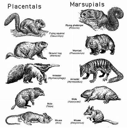 Evolution Species Examples Convergent Biology Evolutionary Mammals