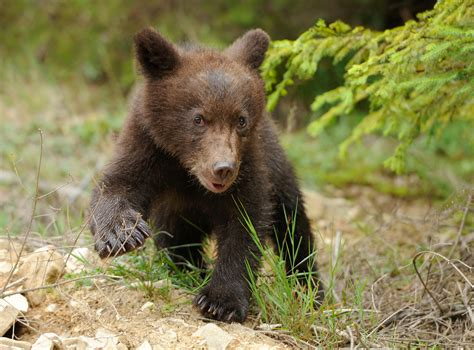 I Am A Baby Bear Coming Out Of Hibernation