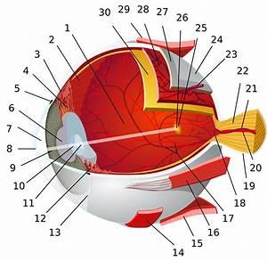 Macula Of Retina