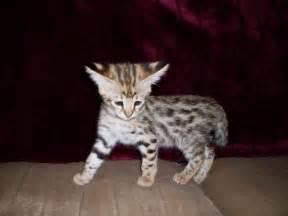 savana cat drinkwater f1 savannahs savannahs page