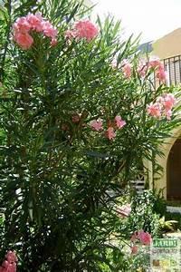 Laurier Rose Entretien : le laurier rose est un arbuste d une grande beaut dont il ~ Melissatoandfro.com Idées de Décoration