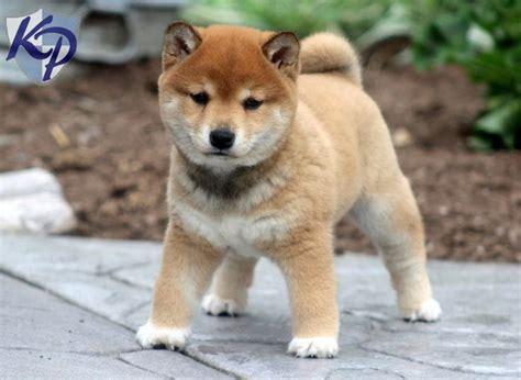 Shiba Inu Puppy Www.keystonepuppies.com