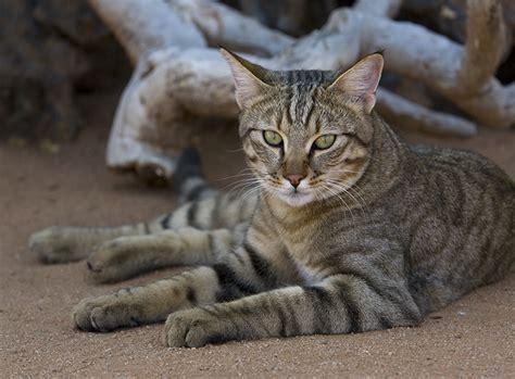 Katzen Halten Ausstattung by Falbkatze Vorfahrin Der Hauskatze Zooroyal Magazin