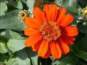 Master Program Plant Id Flowers And Foliage Zinnia Florida Master