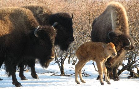 wood bison species profile alaska department  fish  game