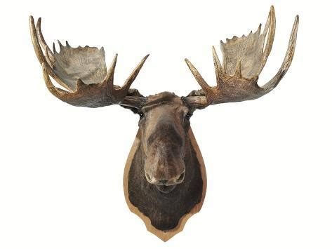 canadian taxidermy moose head hunting trophy mounted