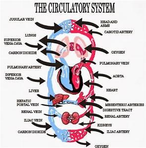 Human Circulatory System Diagram Labeled Basic   Fosfe.com