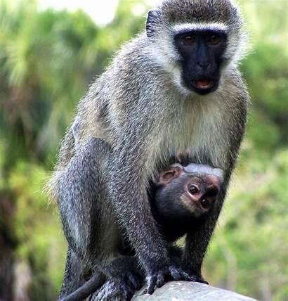 Vervet Monkey Ubuntu Vivid Monkeys Mother Its