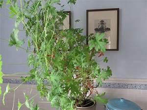 Pflanze Mit S : pflanze mit u pflanze mit gro en bl ttern ein herrlicher hingucker zu cattleya jenmanii bl hf ~ Orissabook.com Haus und Dekorationen