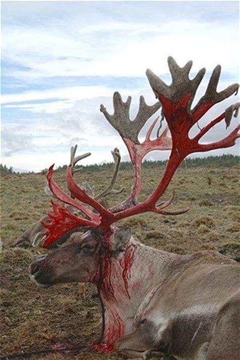 deer shedding velvet bleeding a reindeer buck who has locked horns with another