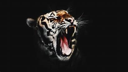Tiger 4k Wicked Desktop Wallpapers 1080 Laptop