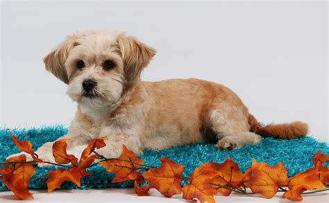 How Much Are Shih Tzu Poodle Puppies Goldenacresdogscom
