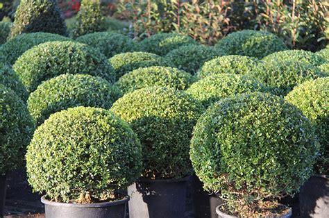 arbusti sempreverdi da giardino piante da giardino sempreverdi a cespuglio galleria di