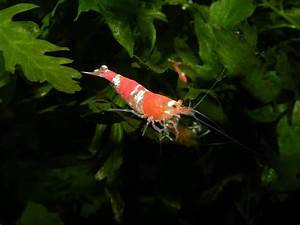 Co2 Aquarium Berechnen : red bee bienengarnele aqua ~ Themetempest.com Abrechnung