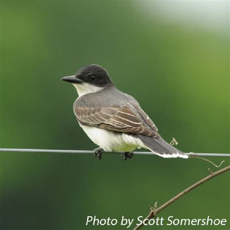 tennessee watchable wildlife eastern kingbird habitat 1