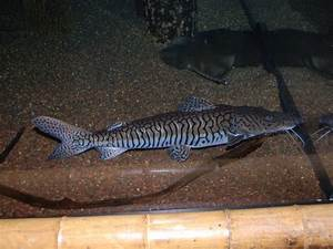 The Online Zoo - Leopard Catfish