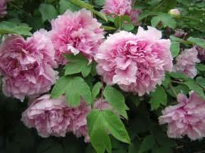 Pink Peonies Flower Bush