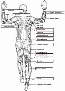 Human Body Systems Worksheets Pdf  U2013 Skgold Co