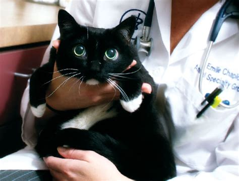 Feline Diabetes + Insulin Overdose  The Case Of The Not