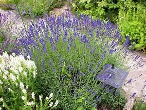Plant De Lavande : lavandula angustifolia 39 hidcote 39 ~ Nature-et-papiers.com Idées de Décoration
