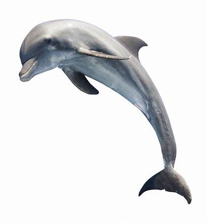 Dolphin Jumping Transparent Dolphins Fish Clipart Animals