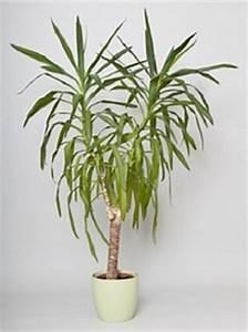 Palmen Für Die Wohnung : welche palmen eignen sich f r die wohnung ~ Markanthonyermac.com Haus und Dekorationen