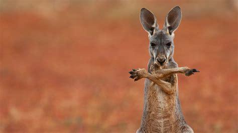 kangaroo wallpapers hd desktop wallpapers  hd