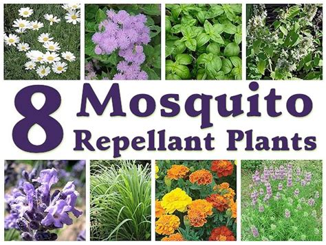 plants to repel mosquitos 8 mosquito repellent plants mother s home