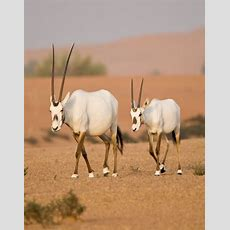 Arabian Oryx  Due To Hunting, The Arabian Oryx Was Extinct In The Wild By The Early 1970s, But